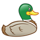 Swimming Duck with a green head