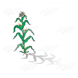 Cornstalk with Ears