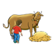 Milking a Cow cow, boy, hay, pail, without floor