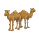 Two Brown Camels standing