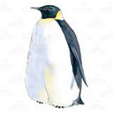 Adult Penguin