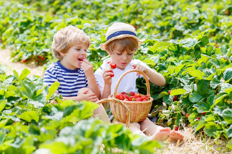 Two boys picking strawberries