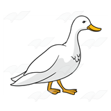 Adult Duck