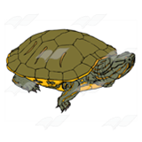 Striped Turtle