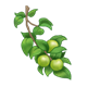 Green Apple Branch