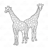 Two Adult Giraffes