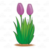 Two Purple Tulips