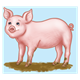 Pink Pig standing in mud, has blue background